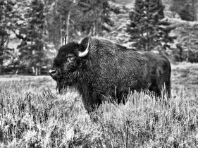 Yellowstone bison in the rain